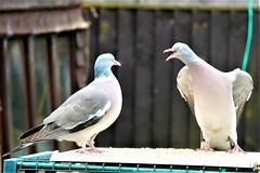 21 April 2017 (5) (AJ Yakstrangler) Tags: yakstrangler pigeon pigeons