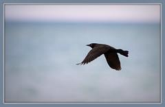 Grackle Framed (imageClear) Tags: grackle commongrackle blackbird lake color sharp wildlive wildlife beauty nature fly bif aperture nikon d500 80400mm imageclear flickr photostream