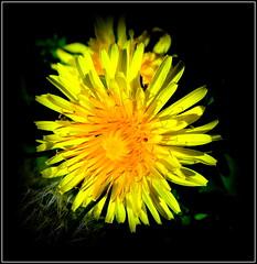 Natural Wonder (dimaruss34) Tags: newyork brooklyn dmitriyfomenko image flower dandelion