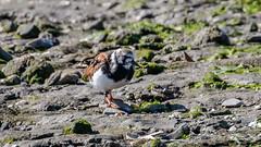 Ruddy Turnstone (Bob Gunderson) Tags: arenariainterpres birds california coyotepointregionalpark northerncalifornia peninsula ruddyturnstone sanmateocounty sandpipers shorebirds