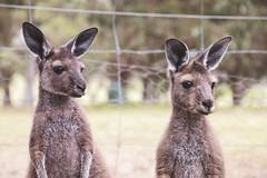 Nyidi Ones (naytography) Tags: kangaroo joey babyanimal australia marsupial