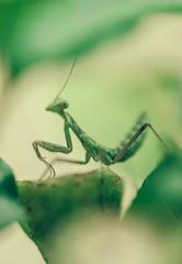 (Mr Bohke) Tags: animales mantis naturaleza insectos color desenfocado plantas macro nature bokhe insect plant