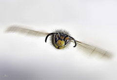 Wasp (kunstschieter) Tags: wings macro wasp insect blur motionblur