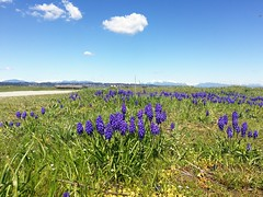 Blue Flowers under the little white cloud... (Beeke...) Tags: sunnyday happiness space springtime bc crescentbeach canada