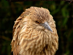 Juvenile Black Crowned Night Heron 2 (dennisgg2002) Tags: bronx zoo new york city ny nyc
