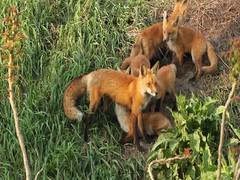 fox and kits (starc283) Tags: starc283 nature naturesfinest nebraska canon canon7d flickr flicker fox foxkits outdoors outdoor