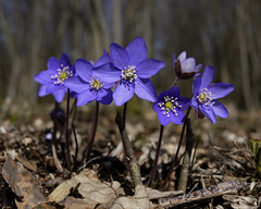 Tuesday Blues (Päivi ♪♫) Tags: norway oslo forest ground barren spring flowers wild blue anemonehepatica sinivuokko blåveis