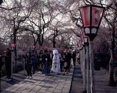 Mishima shrine, trip in Shizuoka (threepinner) Tags: wedding ceremony shrine mishima shizuoka spring cherry fujica gf670 ebcfujinon 80mm f35 positive iso400 selfdeveloped 三島 三島大社 静岡