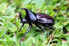 Rhinocerus Beetle (aussiegypsy_roaming Outback) Tags: adult male beetle insect animal black rhinocerusbeetle xylotrupesgideon forked horns nocturnal takingachance large scarab australia australian aussie aussiegypsy lorraineharris backyard garden wettropics tropical tropics athertontablelands farnorth queensland qld malanda nature outdoors unusualbehaviour wet rainyday droplets water sideview