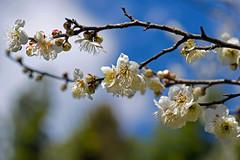 _DSC8774 (2) (aeschylus18917) Tags: danielruyle aeschylus18917 danruyle druyle ダニエルルール japan 日本 kyushu 九州県 miyazaki 宮崎県 flower 花 plum blossoms prunus prunusmume 105mm