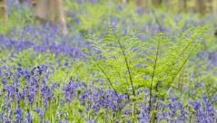 17042017-DSC_0182 (vidjanma) Tags: hallerbos hyacynthes fougères fleurs