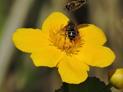 Hoverflies (deannewildsmith) Tags: earthnaturelife staffordshire hoverfly insect wolseleynaturecentre
