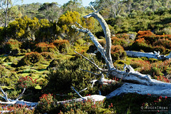 20170302-11-Dead tree (Roger T Wong) Tags: australia greatpinetier np nationalpark sel70300g sony70300 sonya7ii sonyalpha7ii sonyfe70300mmf2556goss sonyilce7m2 tasmania wha wallsofjerusalem worldheritagearea bushwalk camp hike rocket sushionplants tree trektramp walk