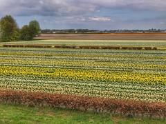 Keukenhof, The Netherlands (darrenboyj) Tags: fields tulips gardens lines flowerbed keukenhof holland spring netherlands afternoon flowers pretty yellow green