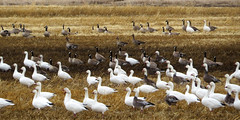 Geese (Red Calf Studio) Tags: colleenwatsonturner redcalfstudio canadageese snowgeese autumnmigration