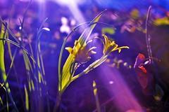 Light&shadow (luthomas) Tags: flower sun rays light shadow beautiful beam ray