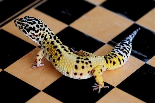 leopard gecko reptile
