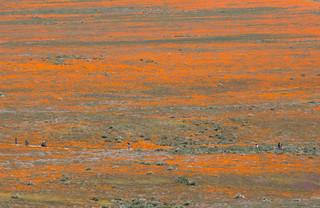 Antelope Valley California Poppy Reserve #7