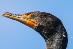 Cormorant (mjeedelbr) Tags: cormorant