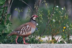 City Stroll (Luis-Gaspar) Tags: animal bird passaro ave perdiz perdizvermelha partridge redleggedpartridge alectorisrufa portugal oeiras nikon d60 55300 f56 1800 iso400