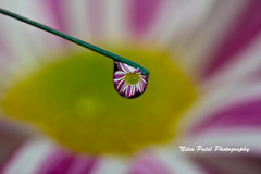 IMG_5450 (nitinpatel2) Tags: nitin patel macro water drop flower