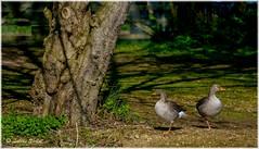 Stand By Your Man (lukiassaikul) Tags: wildlifephotography wildanimals birds wildbirds largebirds goose geese greylaggoose uk urbanwildlife weststow naturereserve