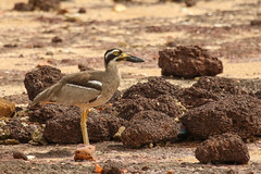 Beach Stone-curlew (Janis May) Tags: beachstonecurlew eastpoint northernterritory