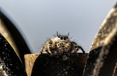 Jumping Spider (Salticidae) (Klaus Ficker --Landscape and Nature Photographer--) Tags: jumping spider salticidae closeup macro 180mmmacro kentuckyphotography klausficker canon tamron180mmmarco macrodreams