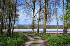 Arcadia (Martin van Duijn) Tags: hyacinthus arcadia bollenstreek netherlands holland bulb flowers lisse sassenheim hillegom dezilk noordwijkerhout noordwijk
