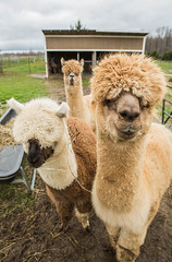 medina-7728 (FarFlungTravels) Tags: alpaca animal farm medinacounty onefineday shear wool