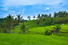 Jatiluwih rice terraces - Bali (Stefano Viola) Tags: bali jatiluwih rice green nature travel adventure landscape paesaggio indonesia viaggio
