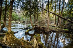 The cedar swamp . . . (Dr. Farnsworth) Tags: cedar swamp sunlight trees reflection water rapidriver deer bear trout fernridge mi michigan spring april2017 nationalgeographic discoveryaward ngc