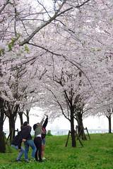 春 桜 Cherry Tree Springtime Pentax K-3 at 小松川千本桜
