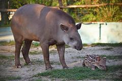 južnoamerički nizinski tapir (Tapirus terrestris / Southamerican Lowland Tapir / Flachlandtapir) (Hrvoje Šašek) Tags: južnoameričkinizinskitapir southamericanlowlandtapir flachlandtapir tapirusterrestris sisavac mammal priroda nature park perivoj maksimir parkmaksimir zoo zagrebzoo zoološkivrtgradazagreba zoologicalgardenofzagreb zoološkivrt zoologicalgarden portret portrait životinja animal croatia croazia kroatien hrvatska closeup mladunac cub beba baby slatko sweet cool cute d810