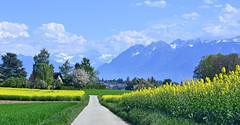 Entre les champs de colza (Diegojack) Tags: echandens vaud suisse paysages campagnes colza routes montagnes