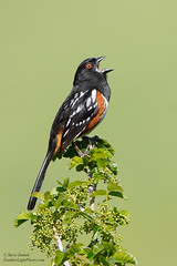 Spotted Towhee (Steve Zamek) Tags: spotted towhee singing