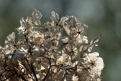 When a dream is falling apart (Goruna) Tags: hydrangea fallingapart backlit garden goruna flowers blumen