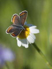 Beau petit monde (Titole) Tags: camomille chamomile titole nicolefaton butterfly flower shallowdof lycènebleu femelle argusbleu