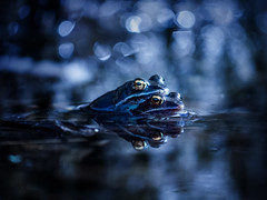 fun evening (marianna_a.) Tags: p1170970 wood frogs frog spring mating action heat couple procreation pond water swim mariannaarmata bokeh