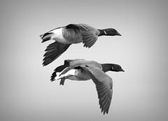 Geese in Flight (Alexander Day) Tags: duck ducks flight sky blackandwhite monochrome animal animals bird birds alex day alexander