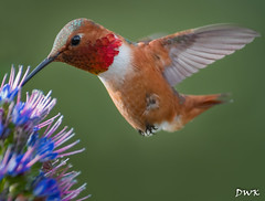 Rufous Hummingbird (Don's Photostream) Tags: california color flight flower wing park hummingbird rufous green red