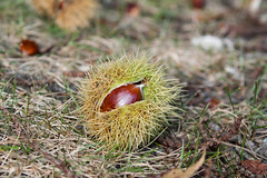 Sweet Chestnut on Ground (suerob) Tags: sweetchestnut castaneasativa marron tree deciduous broadleaf nut seed food edible nutritious roast shell spiny spiky cupules woodland forest season winter tradition christmas redsquirrels brownseaisland england