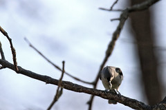 I Have A Seed (Moschell) Tags: tufted titmouse 2017 april backyard birds in local moschell nature spring wildlife