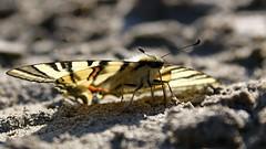 a short break (Erich Hochstöger) Tags: schmetterling butterfly tier animal insekt insect makro macro
