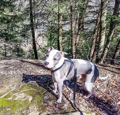 Juneau in Brecksville Reservation (kevincarlvail) Tags: rescueddog dog clevelandmetropark clevelandmetroparks cleveland ohio parks park pitbulls pitbull apbt