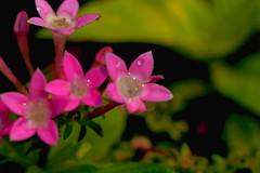 Little  stars (Rajavelu1) Tags: flowers pink green plant beauty art creative canon6d canonef100mmf28lisusmmacro macrophotograph macro