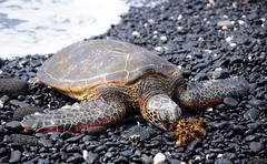 buddy (-Mina-) Tags: hawaii usa turtle animal wildlife sea beach nature bigisland