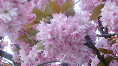 Harmony     is Underneath  the     cherry  tree (claire artistandpoet Stroke Survivor) Tags: cherry tree flowers pink petals