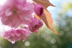 Soft Touch (Vivi Black) Tags: macro cherryblossom kirschblüten spring primavera frühling bokeh soft petal light