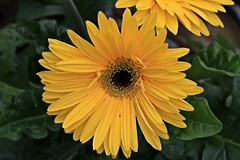 Yellow Flower Macro (hbickel) Tags: yellowflower yellow canont6i canon photoaday pad macro macrolens